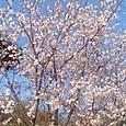 今朝の散歩道の桜です