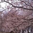 伊勢原公園の桜