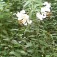 裏山のふじやま公園のヤマユリ