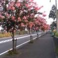 ふじやま公園~サルスベリの花