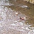 鴨が泳いでいる様子です