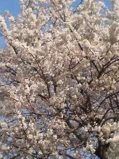 早朝散歩で桜を撮影