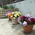 うちの花たちを ちょっと入れてみました-2