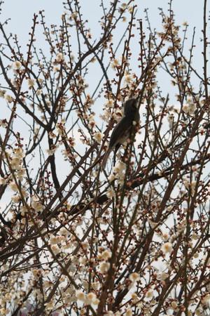 梅の木のヒヨドリ