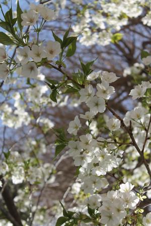 春爛漫ー1