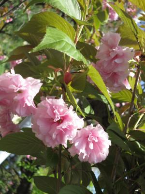 八重桜がお見送り-1
