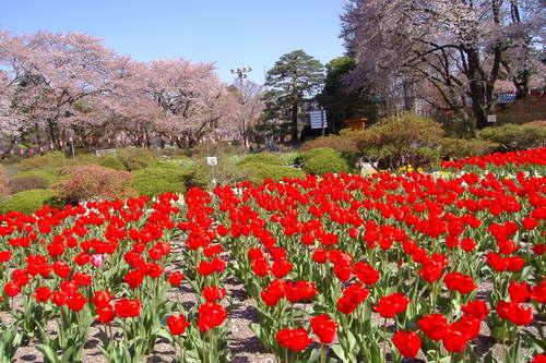桜と赤いチューリップ